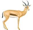 Dorcas Gazelle ##STADE## - coat 20
