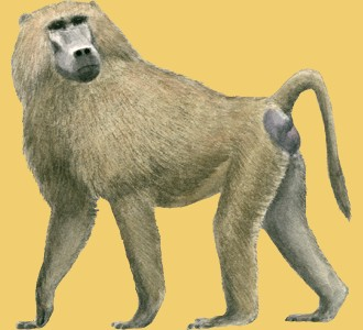 Take in a baboon species animal of the savannah