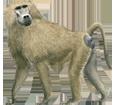 Baboon ##STADE## - coat 69