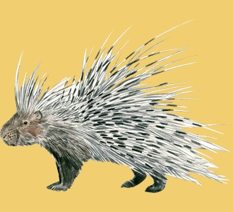 Take in a porcupine species animal of the savannah
