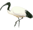 African Sacred Ibis ##STADE## - coat 65