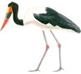 Saddle-billed Stork ##STADE## - coat 34