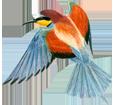 Bee-eater ##STADE## - coat 5