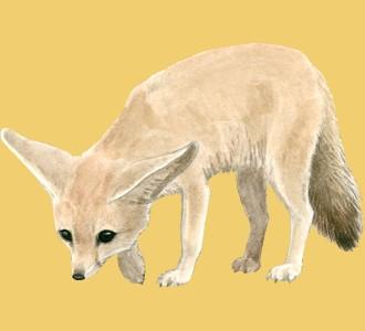 Fennec Fox ##STADE## - coat 2