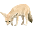 Fennec Fox ##STADE## - coat 2