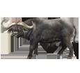 Buffalo ##STADE## - coat 37