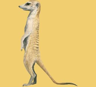 Take in a meerkat species animal of the savannah