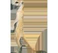 Meerkat ##STADE## - coat 2