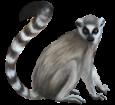 Lemur ##STADE## - coat 52
